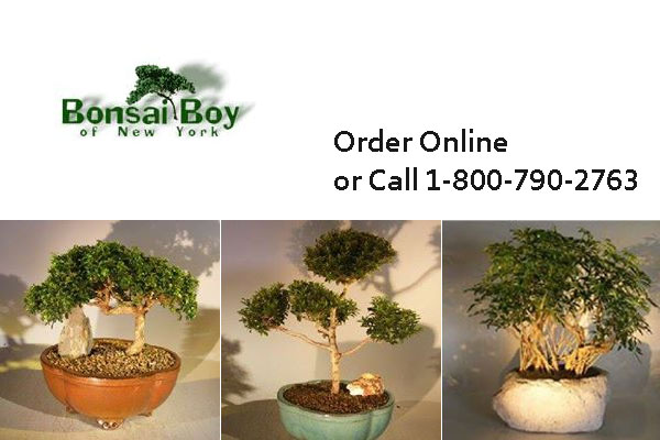 Bonsai Boy Of New York Bonsai Trees In New York City